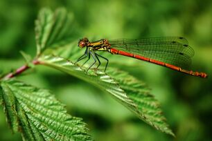 Red-damselfly-on-leaf.jpg.838x0 q80