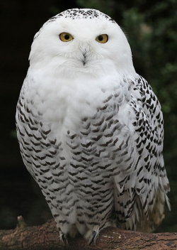 File:Lens1929745 1284203173425px-Snowy Owl - Schnee-.jpg