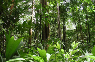 File:Amazon-rainforest-cattle.jpeg