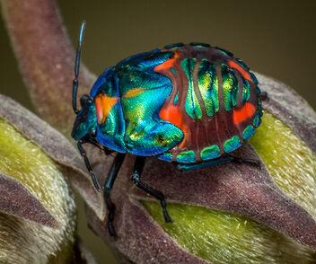 Harlequin bug instar (Explored)