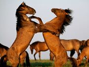 Stallions-fighting-farlow 3735 990x742