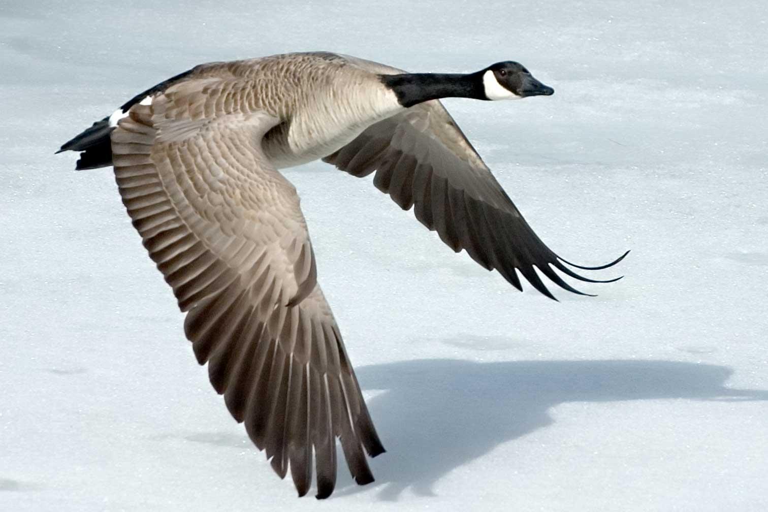 canada goose animal size
