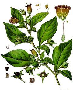 Planta tóxica Belladona