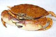 Stone crab1