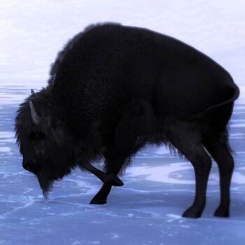 Bison melanistic