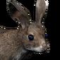 Cottontail rabbit male common