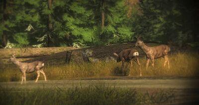 Roe Deer3