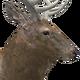 Rocky mountain elk male common