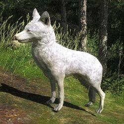 Species COY F albino