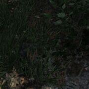 Spur Cottontailrabbit ziehend