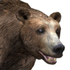 Brown bear male common