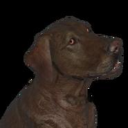 Dog labrador male chocolate