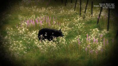 SC Black Bear