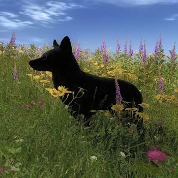 Species COY B melanistic