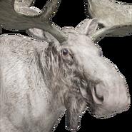 Moose male albino