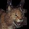 Eurasian lynx male common
