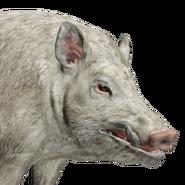 Feral hog male albino