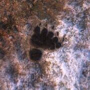 Spur Brown Bear flüchtend