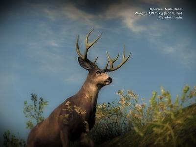 Mule Deer 01