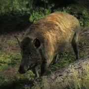 Live Feral-Hog 001