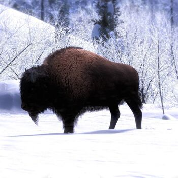 Bison common
