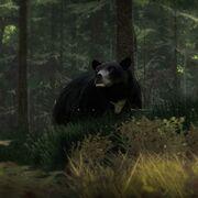 Schwarzbär Infotabelle