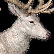 Roosevelt elk male albino