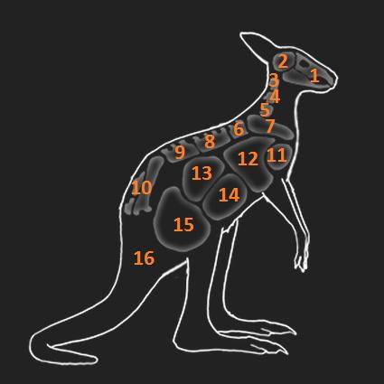 KangarooAnatomie