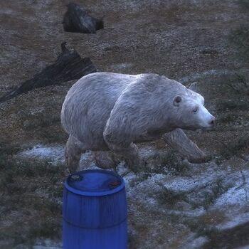 Albino Braunbär