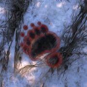Spur Brown Bear ziehend