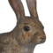 European rabbit male common