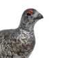 White-tailed ptarmigan male common