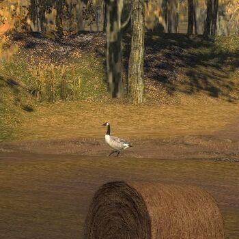 Canada goose amber