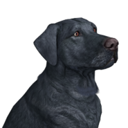 Dog labrador male black