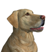 Dog labrador male gold