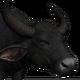 Water buffalo male common