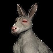 Red kangaroo male albino