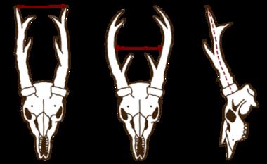 Antlers roe deer