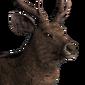 Sambar deer male common