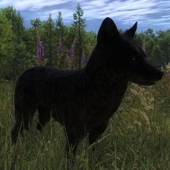 Species COY F melanistic