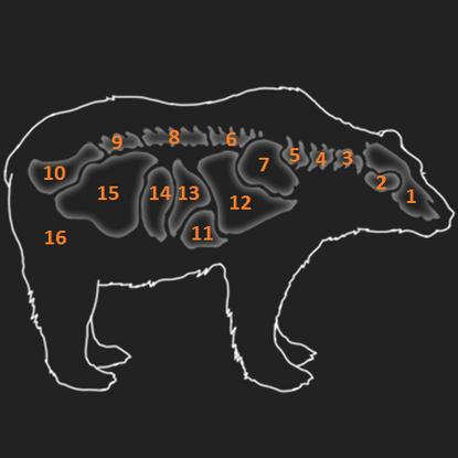 Anatomie Braunbär