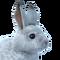 Snowshoe hare male common