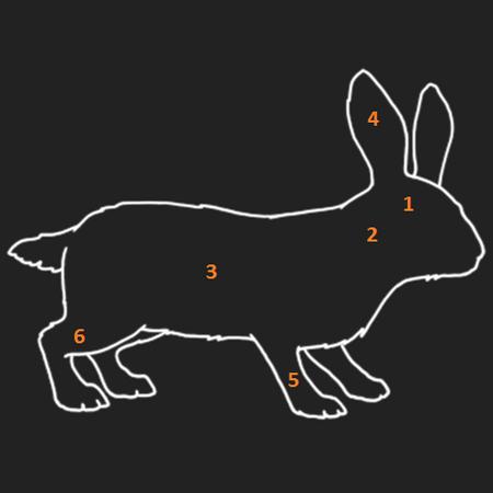 Anatomie Waldkaninchen