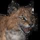 Bobcat male common