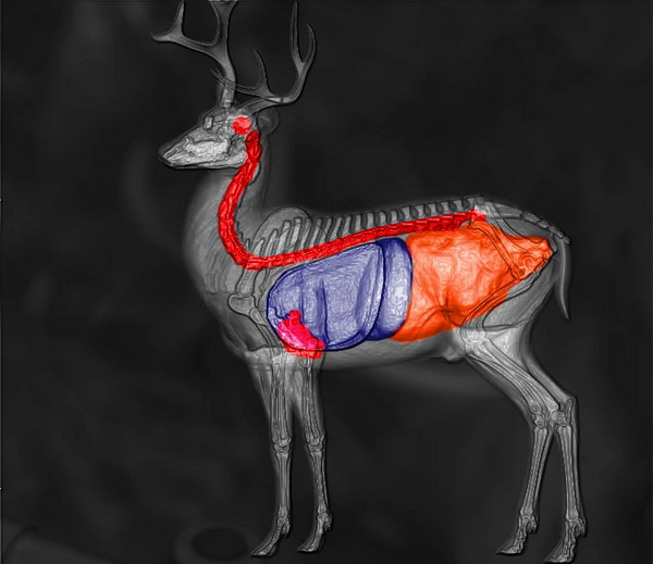 Blacktail deer shot scheme