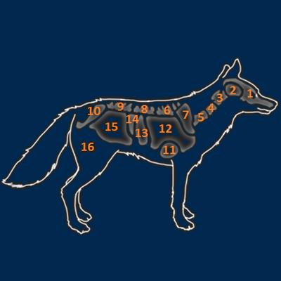 Coyote organs