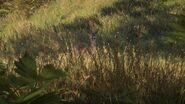 Common roe deer