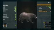 Common Black Bear