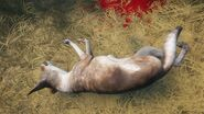 Coyote piebald 2