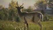 Close-up fallow deer